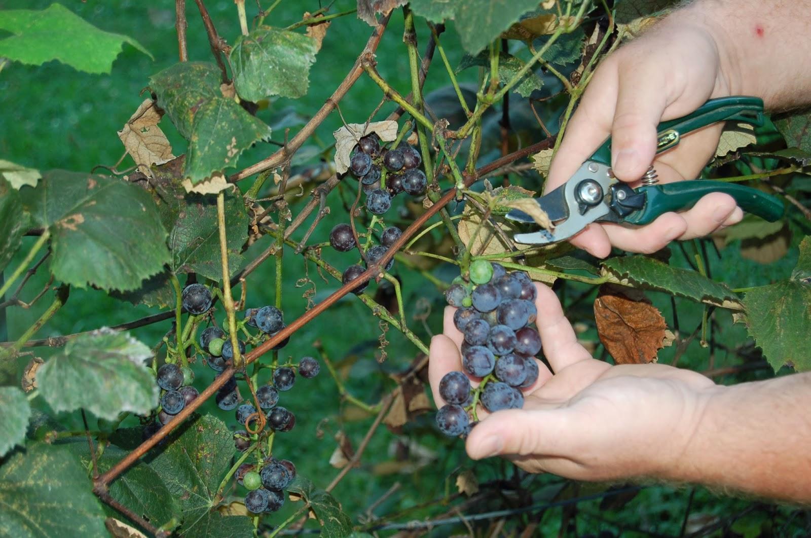 our little backyard farm how to make homemade grape jelly