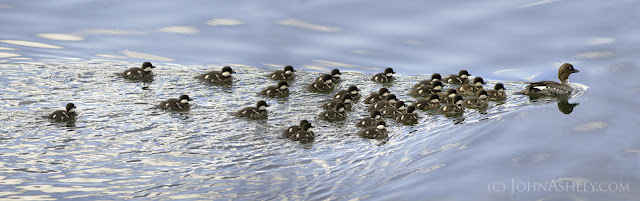 Barrow's Goldeneye mom with 30 chicks (c) John Ashley