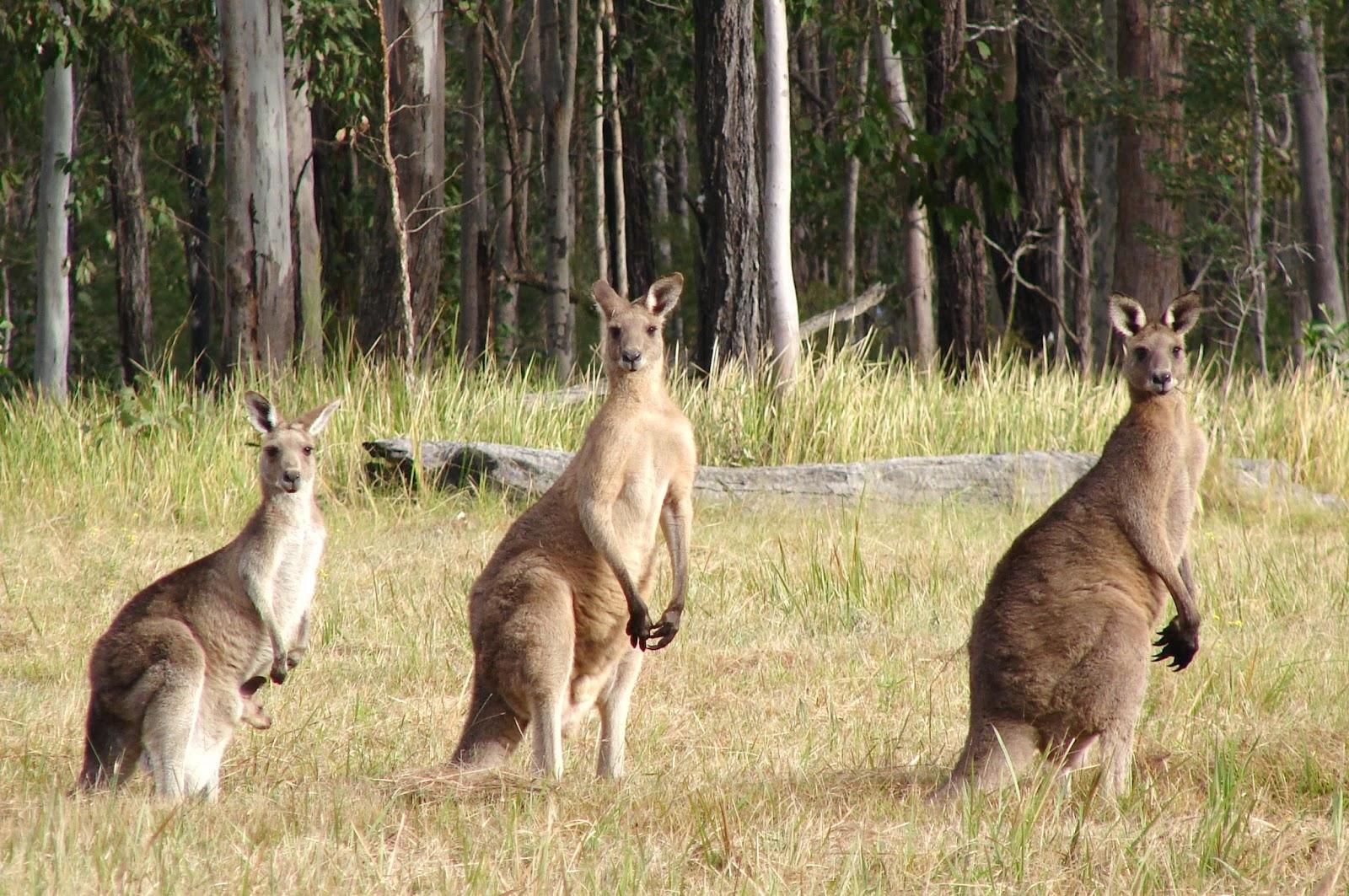 vacances en Australie, Sydney Opera House, Ayers Rock, plongée dans la Grande Barrière de Corail, Great Barrier Reef, Adventure in Australia, kangourou.