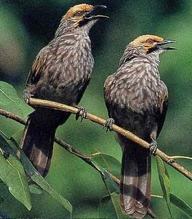 Foto Burung Cucak Rowo Jantan