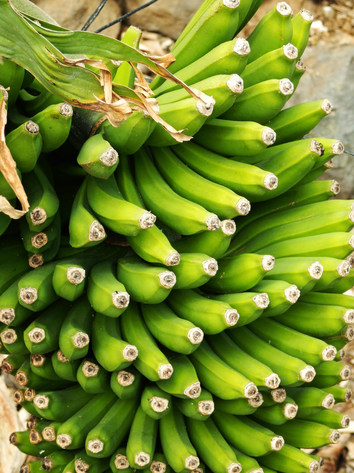 Bunch Canary Islands bananas