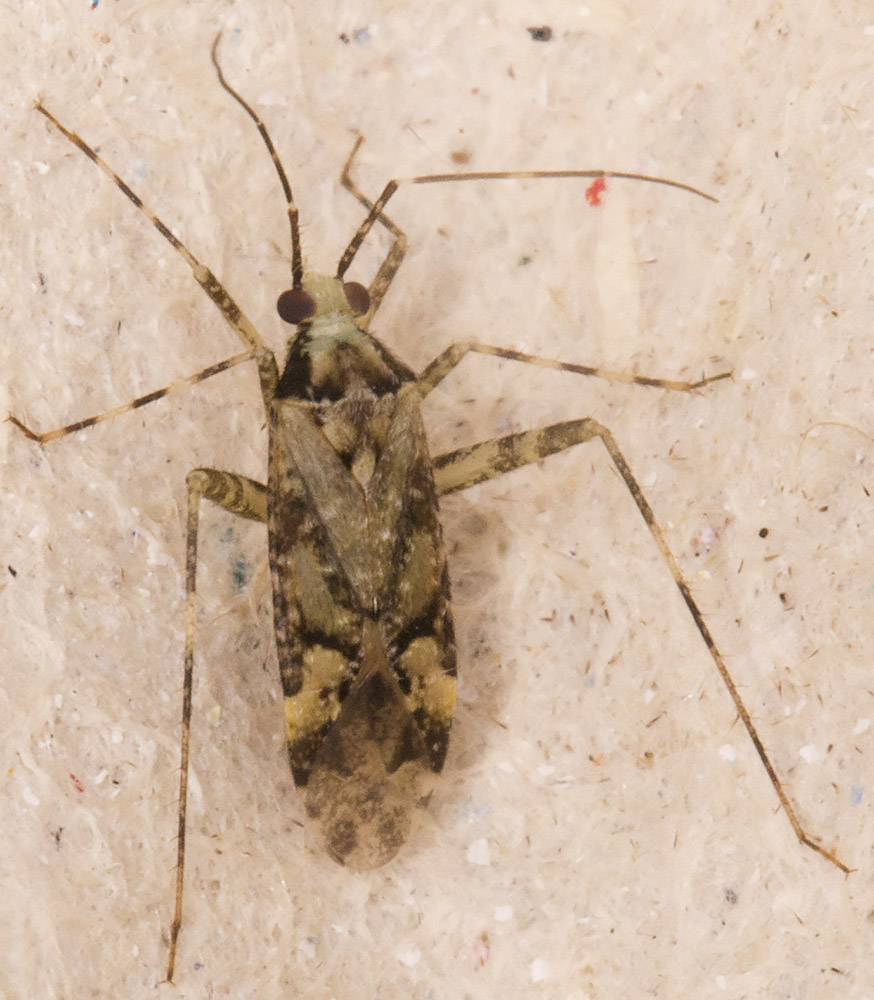 Mirid bug, Phytocoris longipennis.  In my garden light trap in Hayes on 15 July 2014.