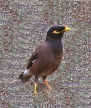 Ilostapple: Myna birds dancing on flute music - photo#7