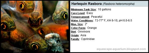 Freshwater Tropical Fish Rasbora Profile