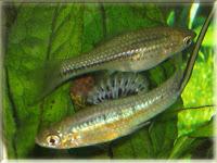 Montezuma Swordtail Fish Pictures