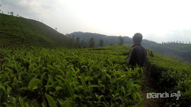 Pekerjaannya membuat jalan di pepohonan teh