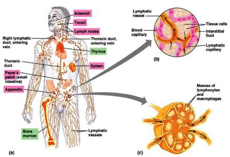 Organs of Immune System ~ Biology Exams 4 U