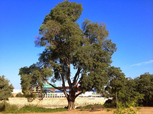 Lledoner (Celtis australis) del parc Joan Fuster. Gandia