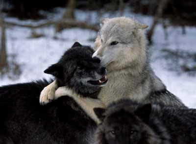 Manada: Guardianes del bosque - Página 40 Living-with-wolves