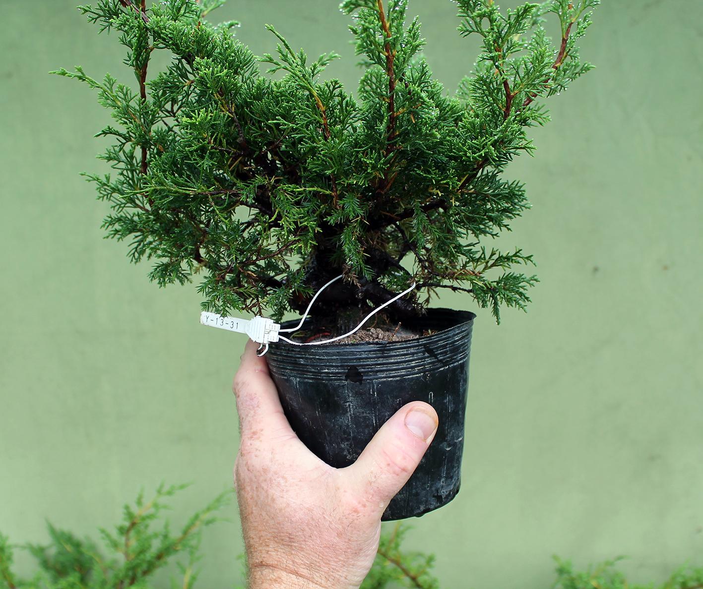 Little Cornish Trees