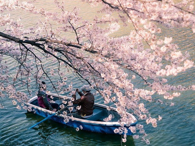 sakura blossom6