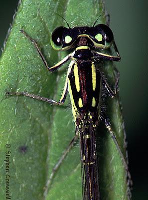 insecta Ischnura posita