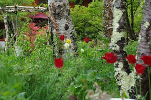森のcradleの庭:白樺と花々4月中旬よりOpen Garden