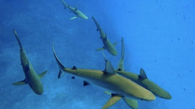 Pacific Reef Sharks