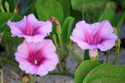 Pink flower from Florida coastal dunes