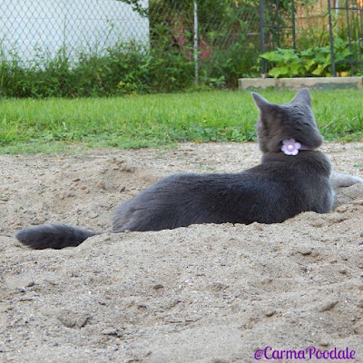 cat laying in sand facing away from camera showing flower collar