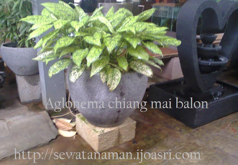 tanaman aglonema chiang may balon