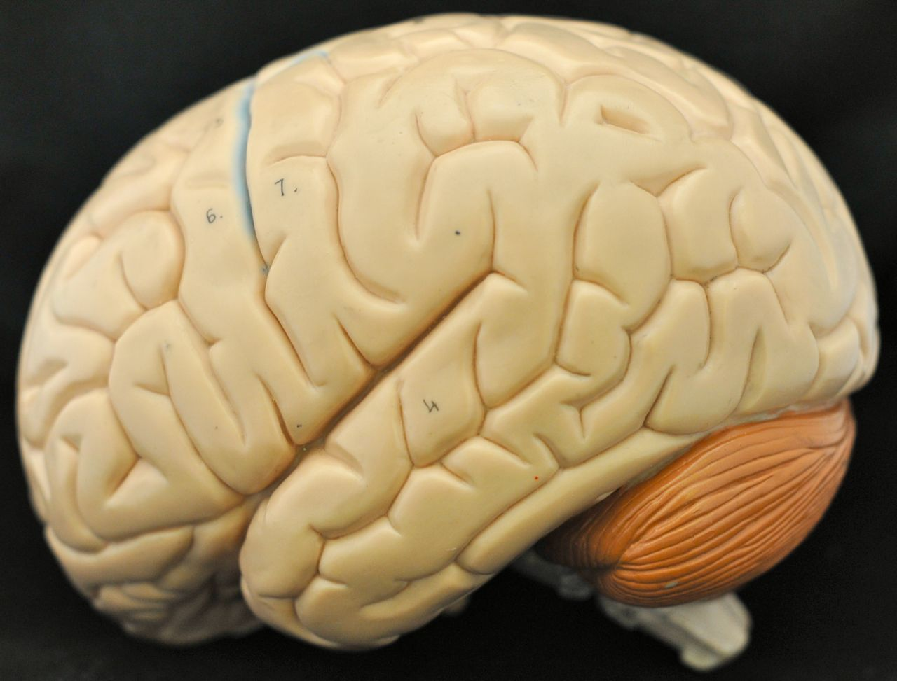 Сексуальный мозг точно