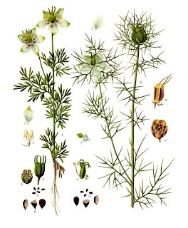 nigella sativa for health