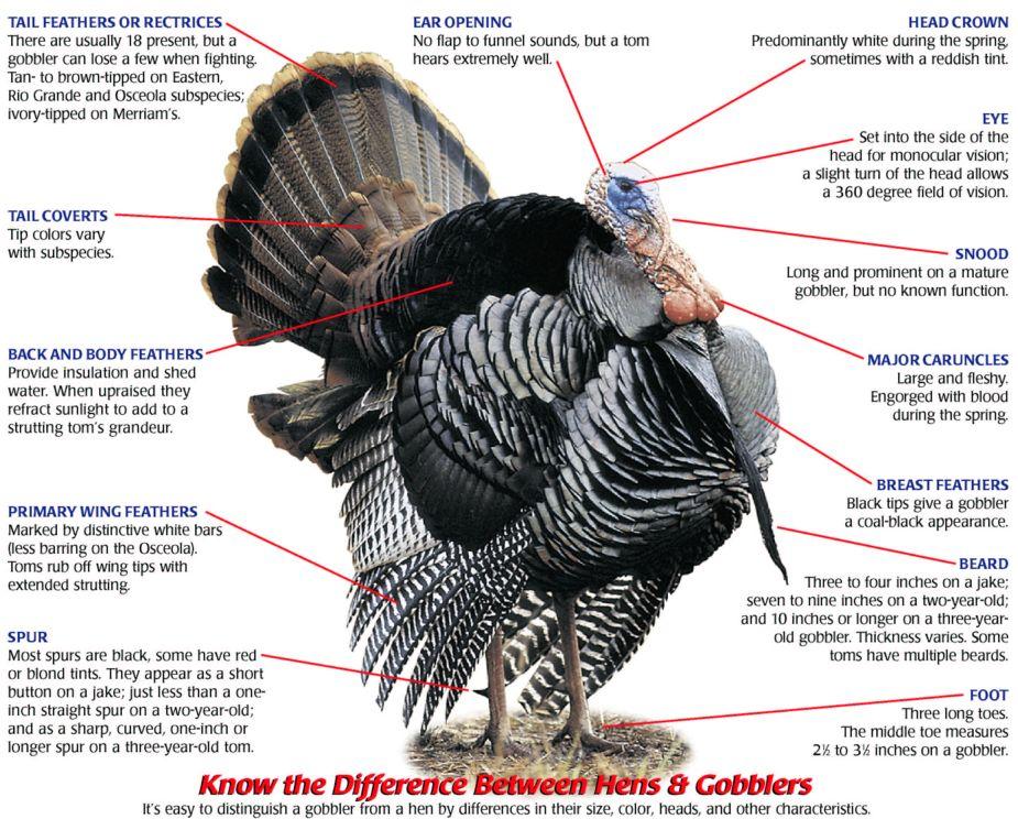 Turkey head anatomy