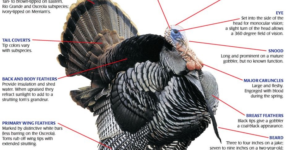 Veterinary Online The Anatomy Of A Factory Farmed Turkey