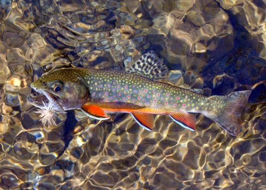 Photo of the Month: Dry Flies and Brook Trout
