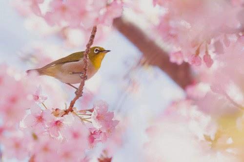 شاهدوا بالصور عجائب الربيع اليابان!