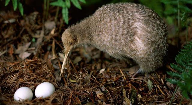 Kiwi, de Nueva Zelanda