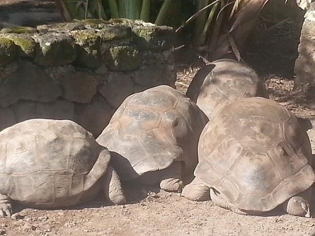 Mauritius - Giant Tortoise