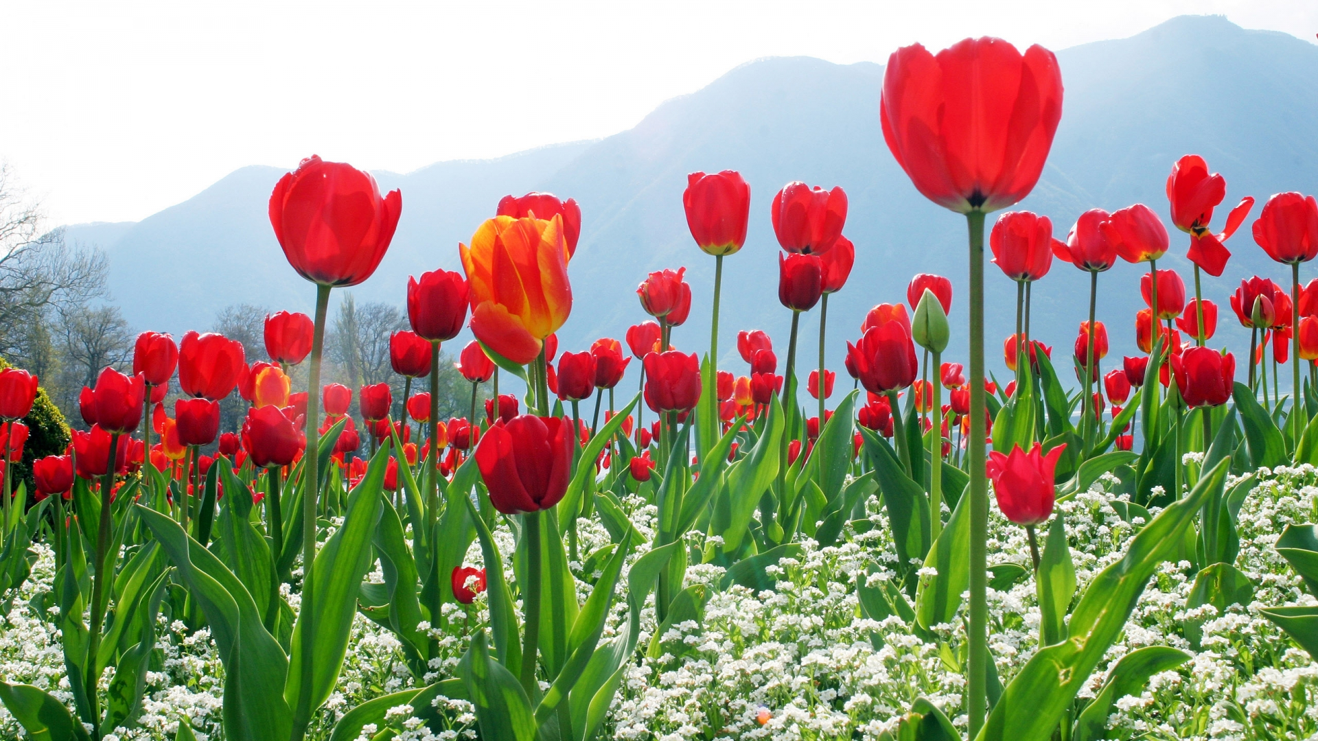 Tulips Flower Plantation High Definition Wallpapers HD wallpapers