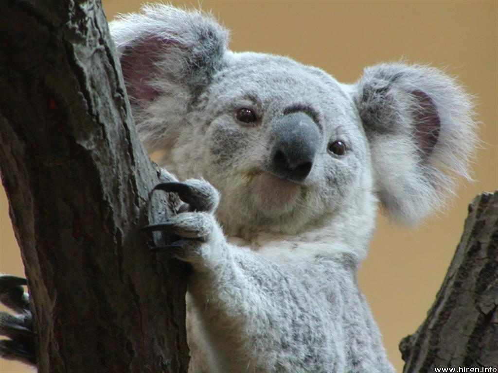 Rasta Lion Hd Wallpaper Funny Koala picture fo...