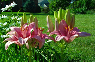 'Retro  Pink' Asiatic Lilium