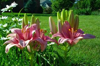 'Retro  Pink' Asiatic Lilium