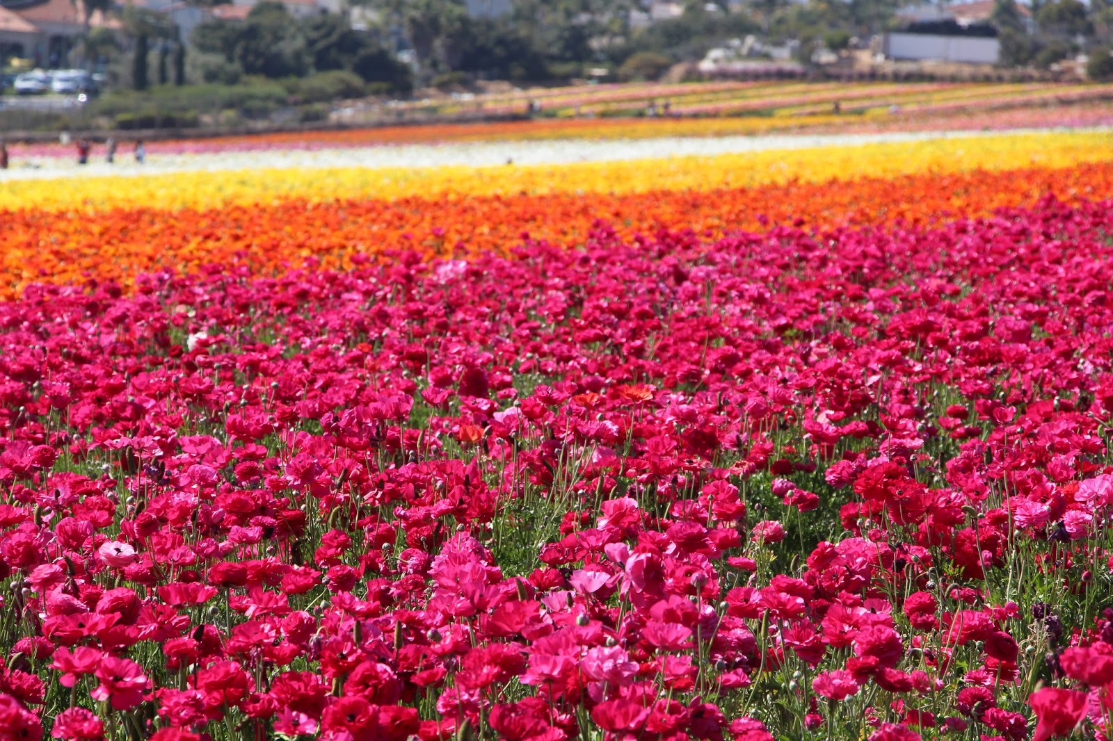 Waking Up With the Whitmores Carlsbad Flower Fields