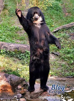 gambar beruang melambai tangan