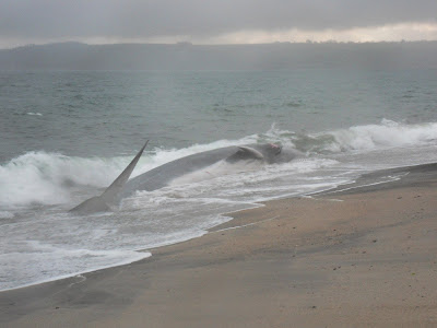 Fin whale on Cornish beach