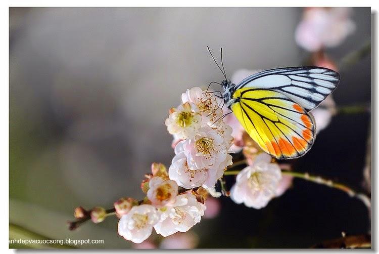 Con bướm xuân 8