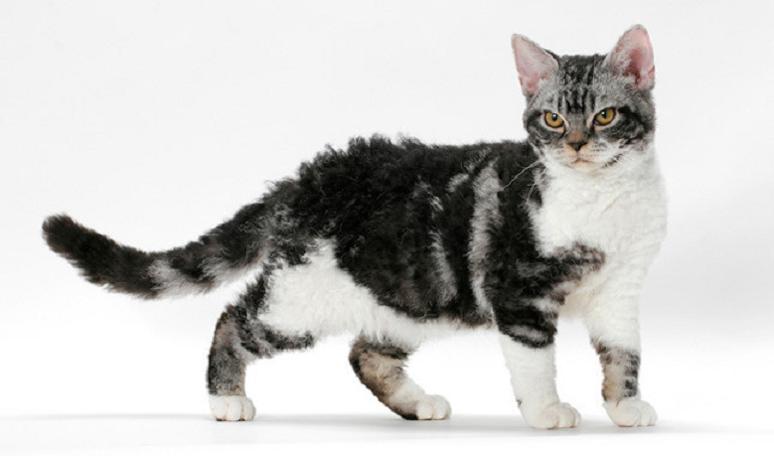 Healthiana: American Wirehair Cats