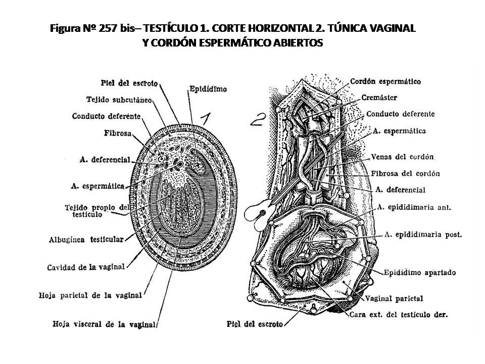 ATLAS DE ANATOMÍA HUMANA: 257 BIS. TESTÍCULO: 1, CORTE HORIZONTAL; 2 ...