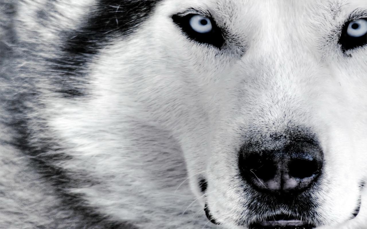 wolf latest hd wallpapers latest hd wallpapers