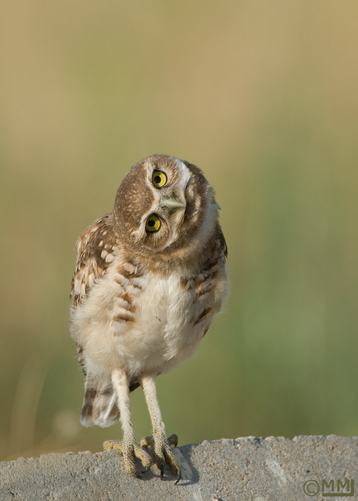burrowing-owl-utah-juvenile-mia-mcpherson-1681.jpg