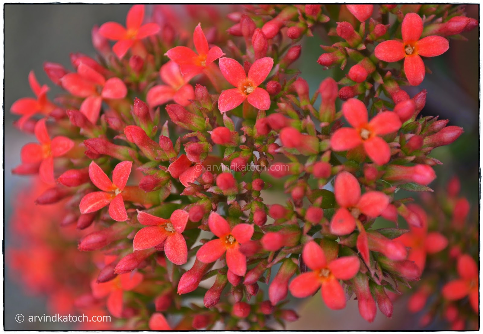 Tiny Red Flowers, Red Flowers, Red