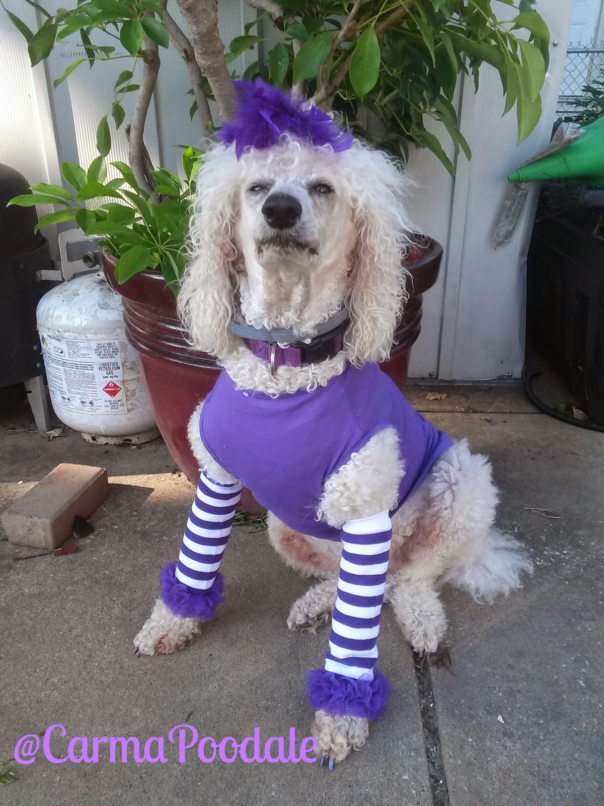 Poodle dressed in purple