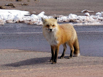 This red fox walked over to see if we had any interesting snacks to eat.