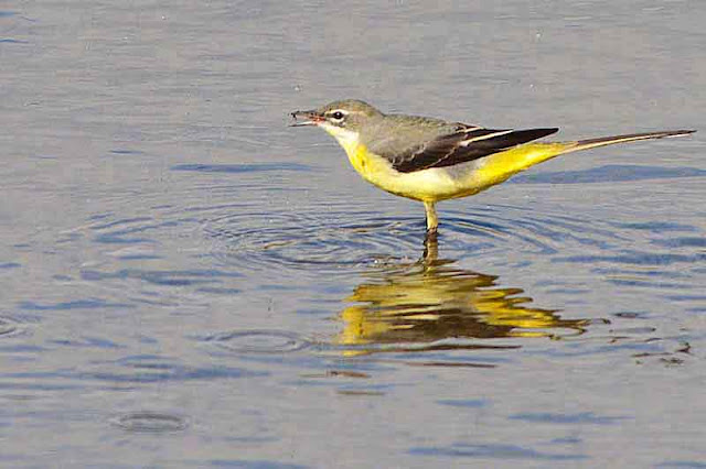 yellow wagtail, bird, feeding