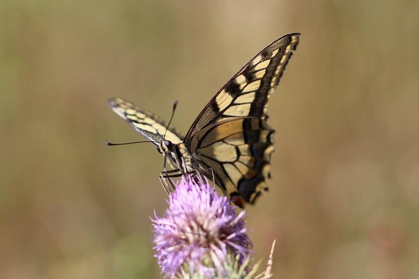 Tierfotos - Schmetterlinge - Schwalbenschwanz