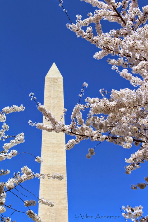 Washington Monument surrounded by white cherry blossoms