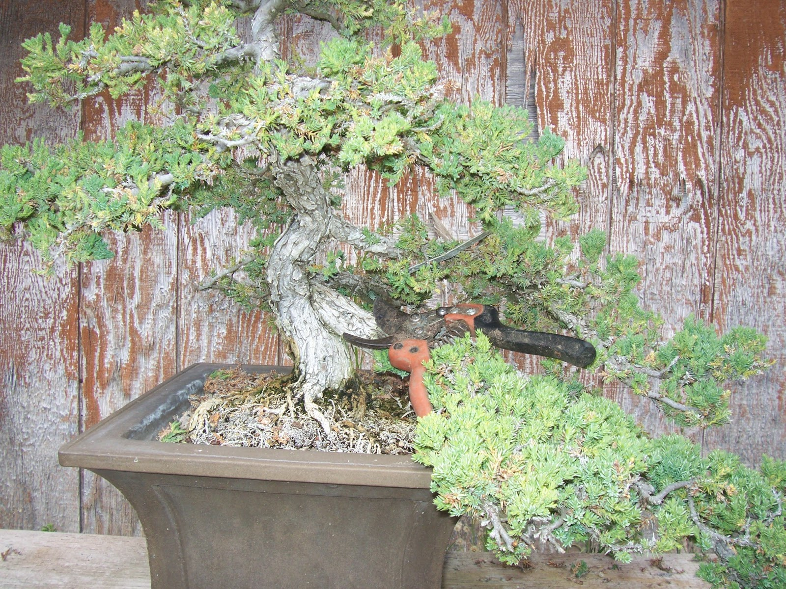 What39s Happening At Muranaka Bonsai Nursery Bonsai Conversion