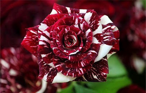 Red White Rose