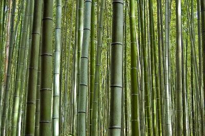hutan bambu sagano4